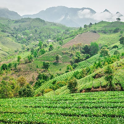 Thé vietnamien d'origine Sơn La