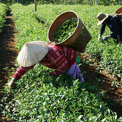Thé vietnamien d'origine Thái Nguyên