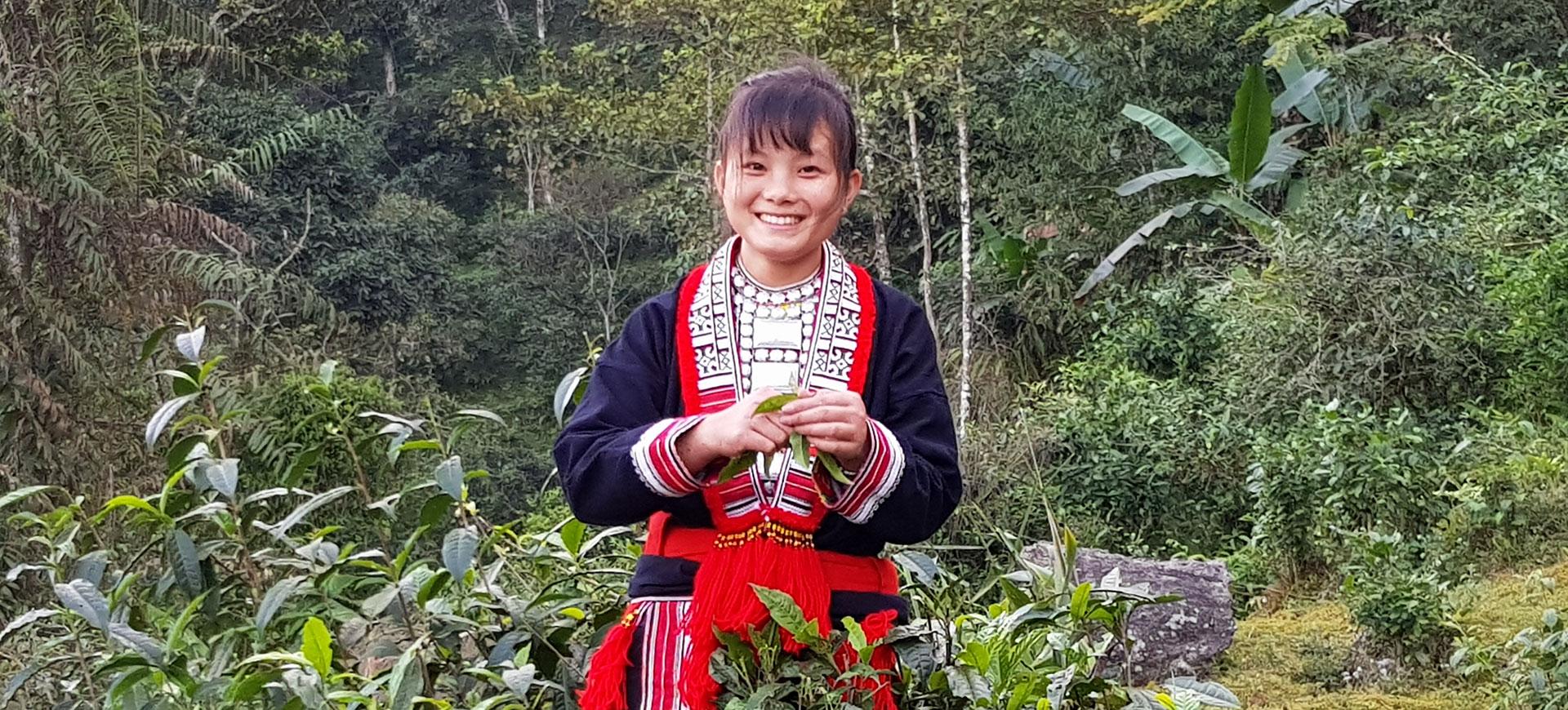 Découvrez les thés shan tuyet du Vietnam